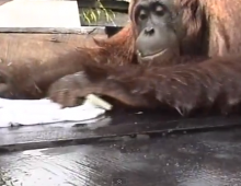 Orangutan washing clothes in Borneo